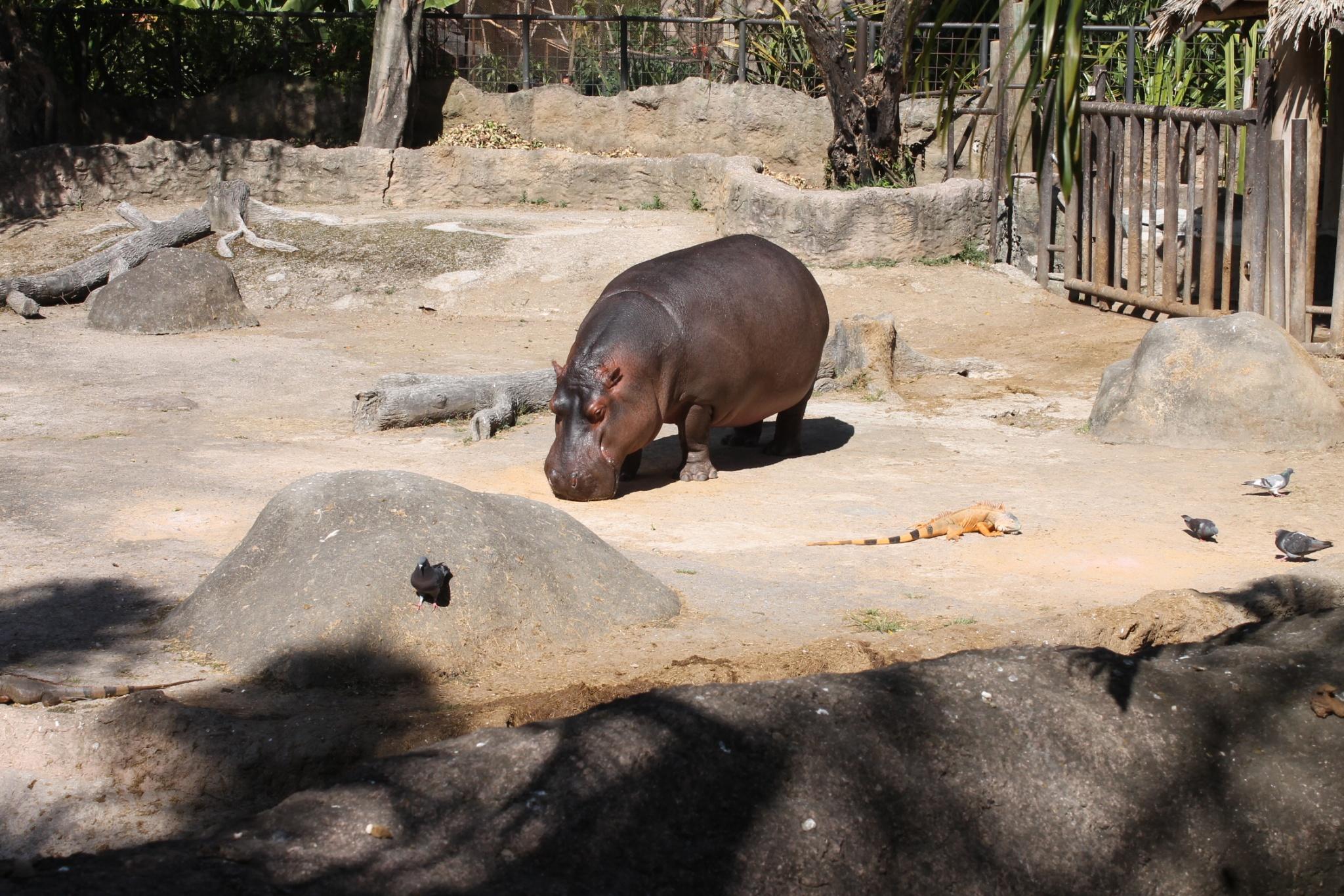 Hippo at Zoo La aurora Guatemala
