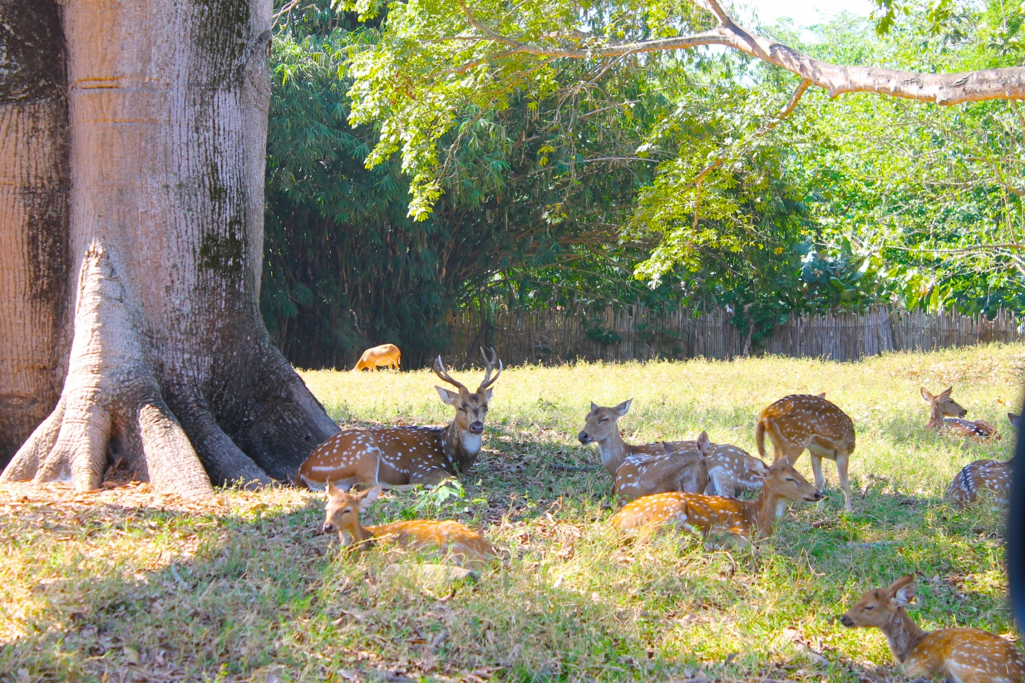 deer herd at Auto Safari Chapin Guatemala