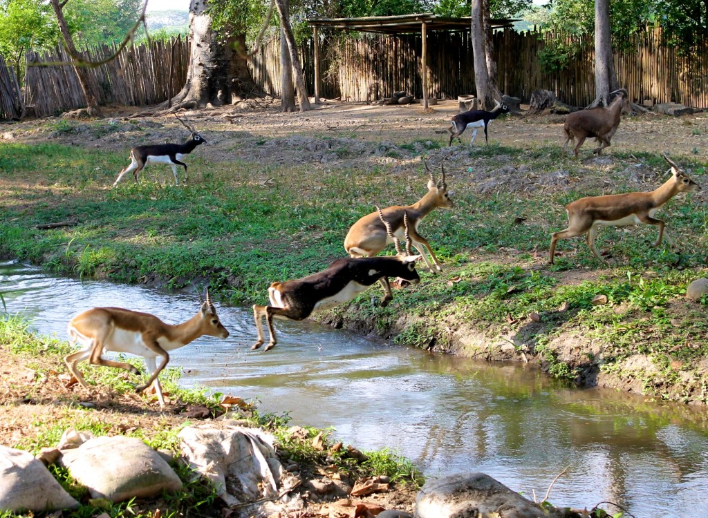 deer jumping a creek Autosafari Chapin Guatemala