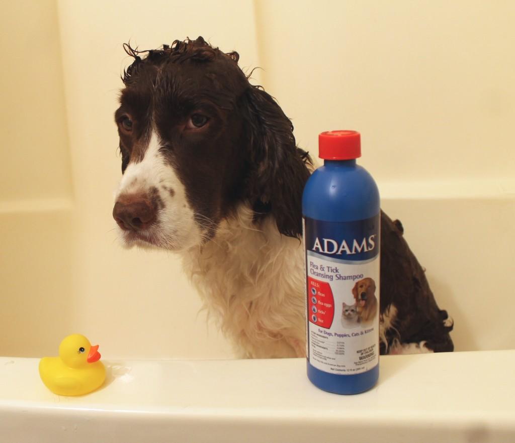 dog bath in the tub Springer Spaniel