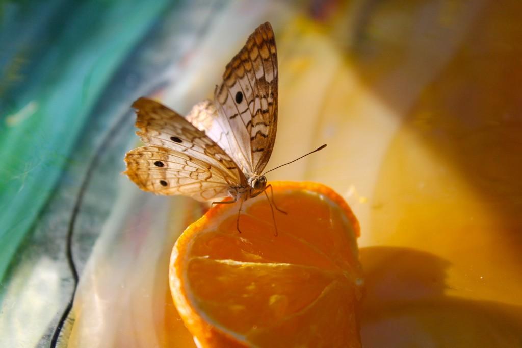 Desert Botanical Garden butterfly pavilion