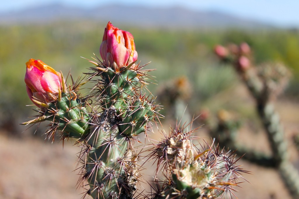 blooming cactus Sonora desert Scottsdale