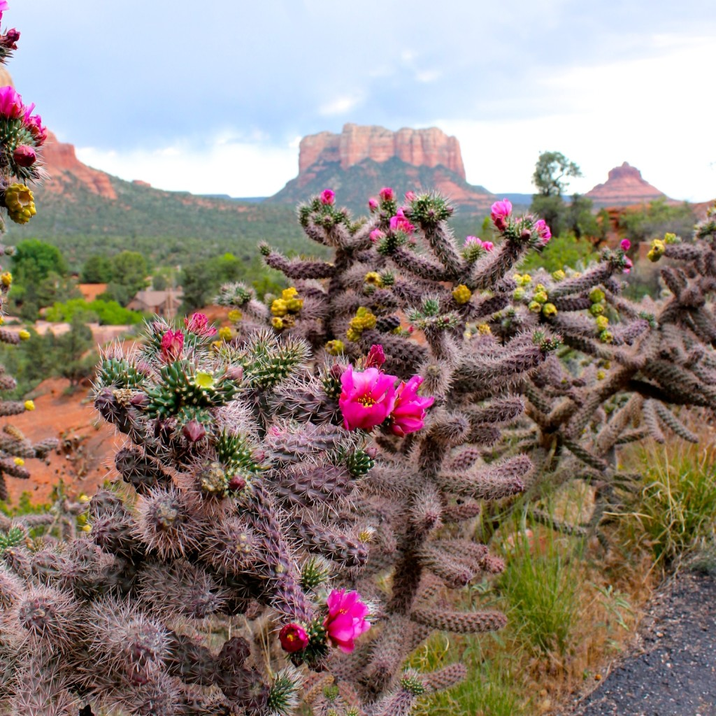 flowering cactus and Sedona red rocks