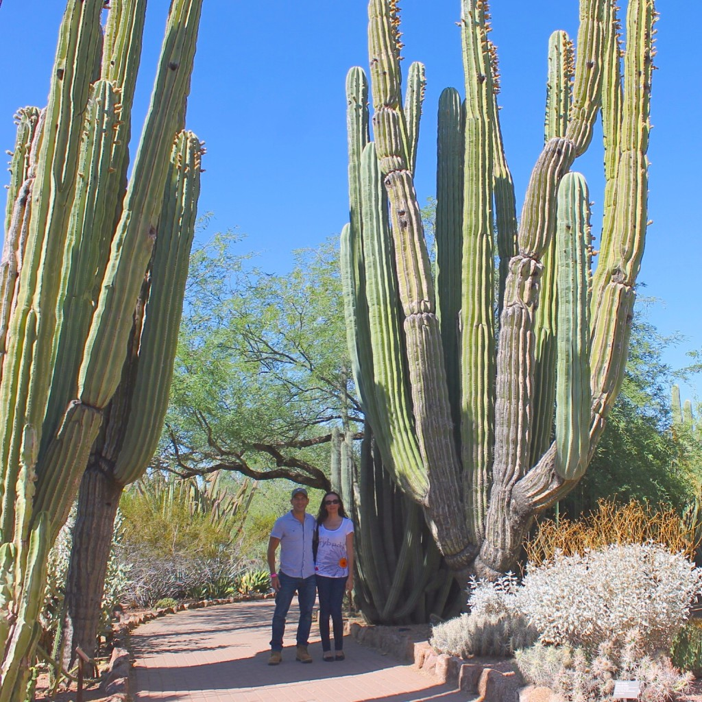 giant cactuses at the desert botanical gardens Phoenix Scottsdale