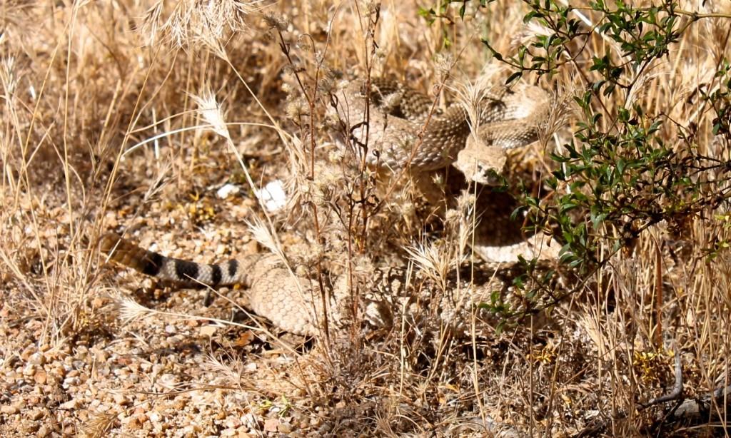 diamondback rattlesnake in Sonora desert