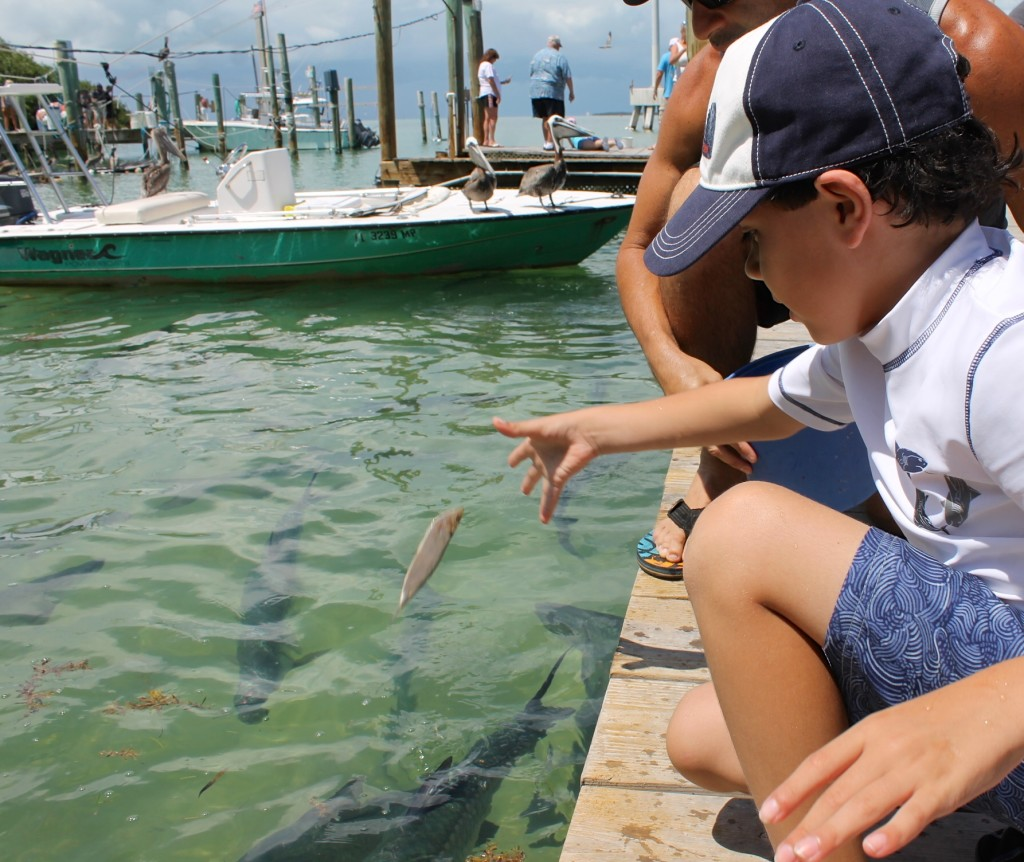 feeding Tarpon at Robbies Marina