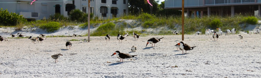 large billed terns nesting in Anna Maria Island