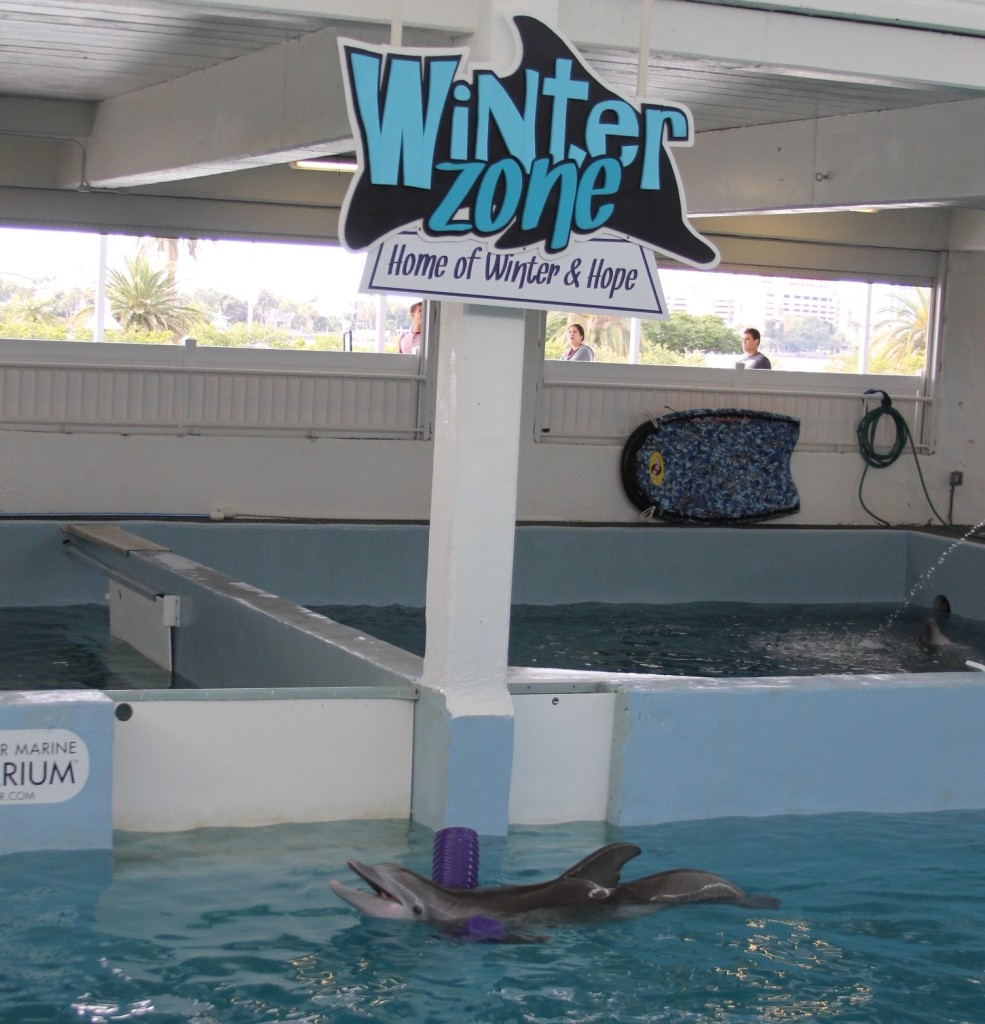 Clearwater Aquarium Winter the dolphin