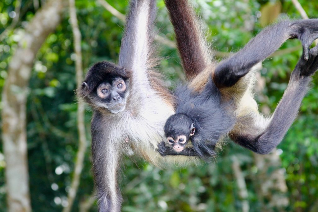 spider monkey with baby at Las Lagunas hotel