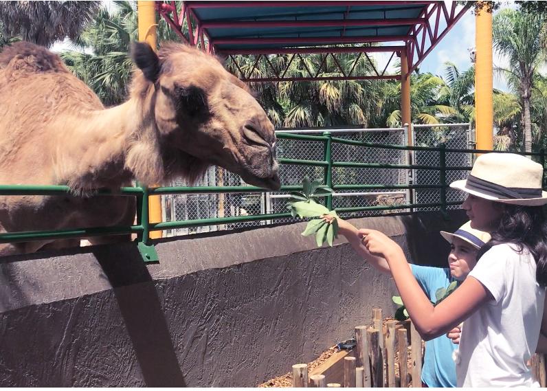 Feeding camels at zoo Miami