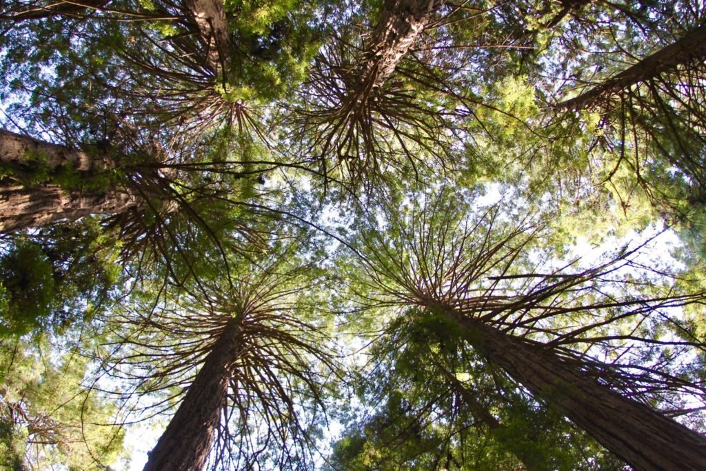 Muir woods coastal redwoods